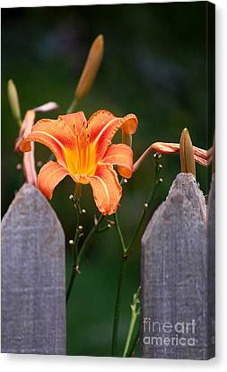 Day Lilly Fenced In Canvas Print by David Lane