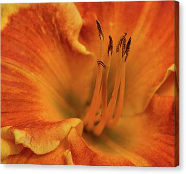 Daylily Close-up Canvas Print