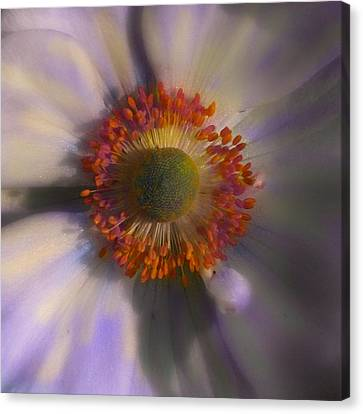 Dazie Eye Canvas Print by Joseph G Holland