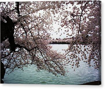 Dc Cherry Blossoms Canvas Print by Joyce Kimble Smith