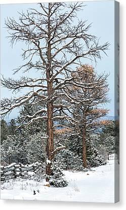 Dead Ponderosa Pines In Winter Canvas Print