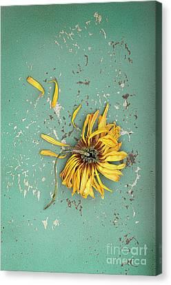 Canvas Print featuring the photograph Dead Suflower by Jill Battaglia