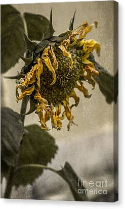 Dead Sunflower Canvas Print by Carlos Caetano