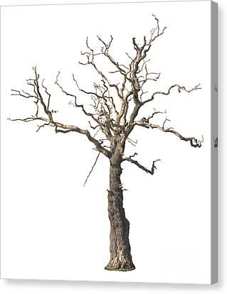Gnarly Canvas Print - Dead Tree by Amanda Elwell