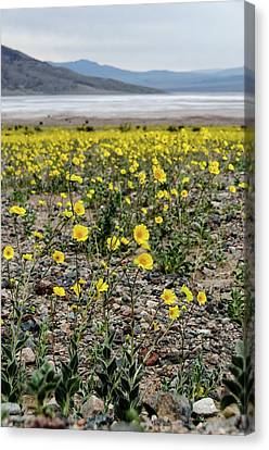 Death Valley Super Bloom Canvas Print
