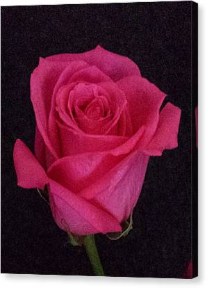 Deep Pink Rose On Black Canvas Print