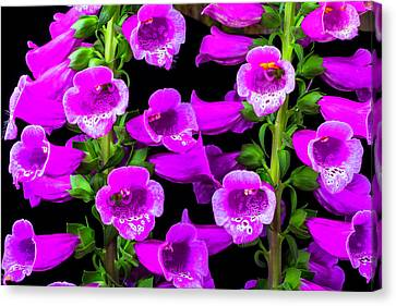 Foxglove Flowers Canvas Print - Deep Purple Foxglove by Garry Gay
