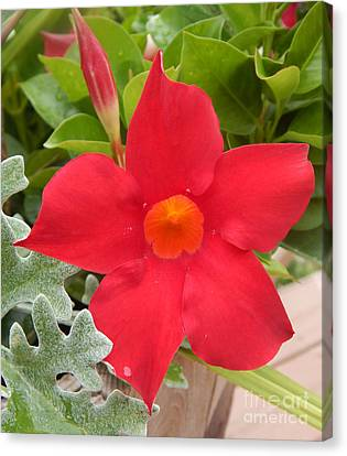 Mandevilla Deep Red Flower Canvas Print