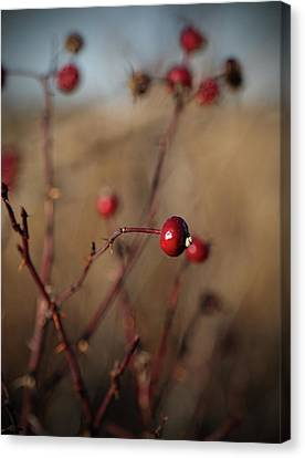 Deep Red Rose Hips On Brown And Blue Canvas Print