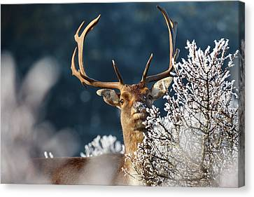 Deer And Hoar Frost Canvas Print by Roeselien Raimond