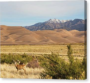 Deer And The Colorado Sand Dunes Canvas Print