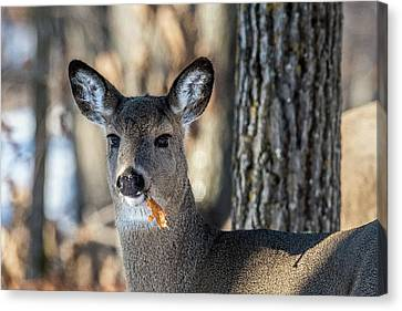 Canvas Print featuring the photograph Deer At The Salad Bar by Paul Freidlund