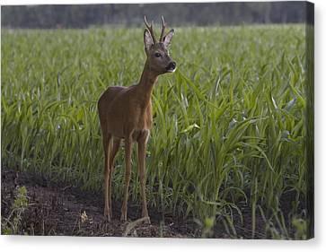Deer Buck In A Corn Field Canvas Print