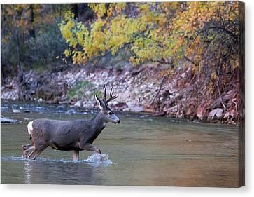 Deer Crossing River Canvas Print
