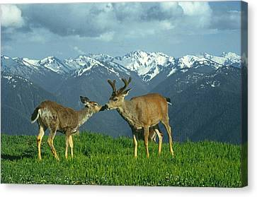 Ma-181-deer In Love  Canvas Print