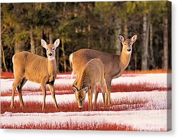 Canvas Print featuring the photograph Deer In Snow by Debbie Stahre