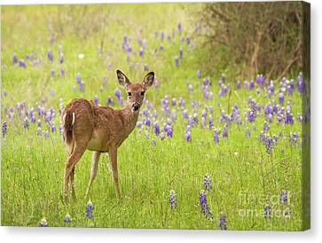 Deer In The Bluebonnets Canvas Print
