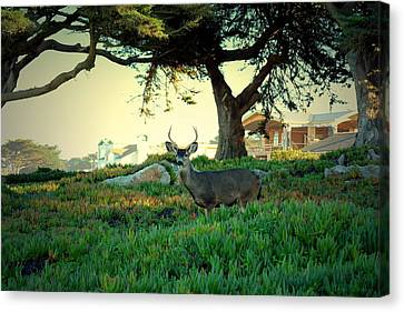 Deer In The Iceplant Canvas Print