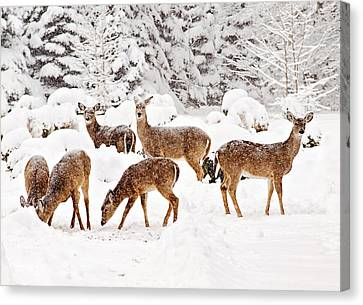 Canvas Print featuring the photograph Deer In The Snow 2 by Angel Cher