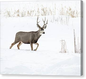 Canvas Print featuring the photograph Deer In The Snow by Rebecca Margraf