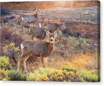 Canvas Print featuring the photograph Deer In The Sunlight by Darren White