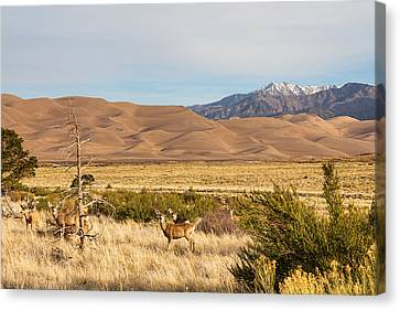 Deer On The Plains Great Colorado Sand Dunes Canvas Print