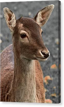 Deer Portrait Canvas Print