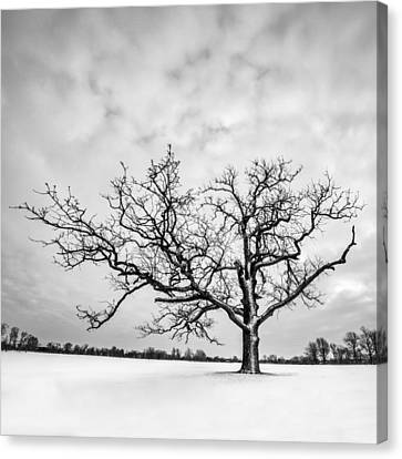 Canvas Print featuring the photograph Delaware Park Winter Oak - Square by Chris Bordeleau