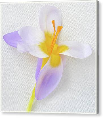 Canvas Print featuring the photograph Delicate Art Of Crocus by Terence Davis