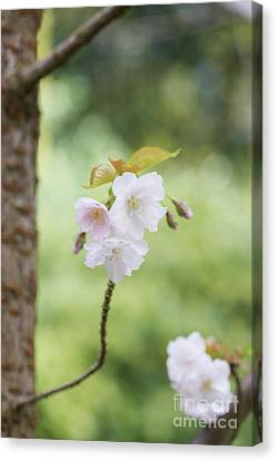Cherry Tree Canvas Print - Delicate Blossom by Tim Gainey