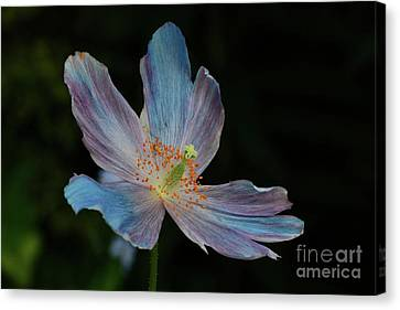 Delicate Blue Canvas Print
