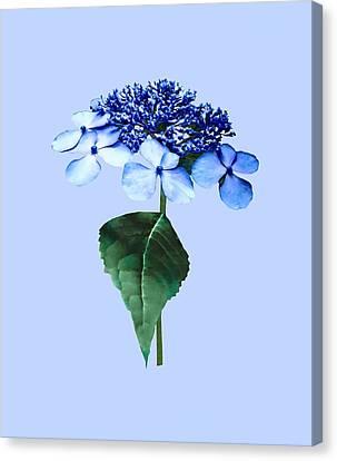 Delicate Blue Lacecap Hydrangea Canvas Print by Susan Savad