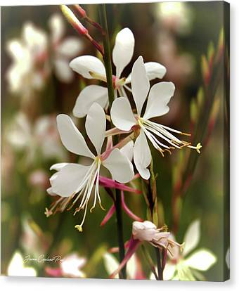 Delicate Gaura Flowers Canvas Print