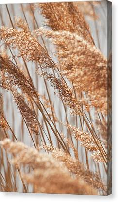 Delicate Grasses In Spring Canvas Print by Christine Amstutz