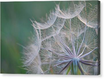 Canvas Print featuring the photograph Delicate Seeds by Amee Cave