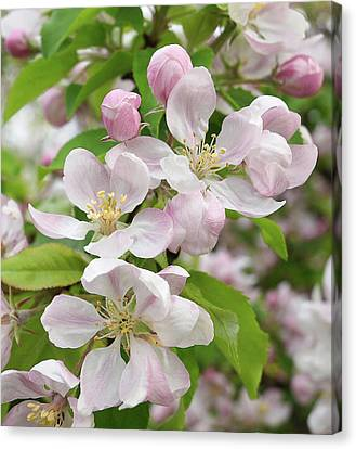 Delicate Soft Pink Apple Blossom Canvas Print by Gill Billington