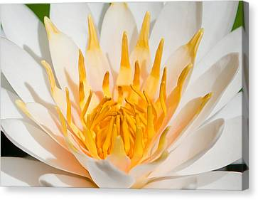 Delicate Touch Canvas Print by Az Jackson