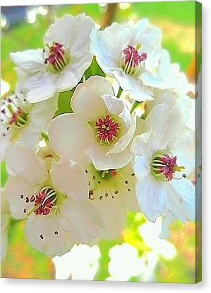 Delicate White Blossoms Canvas Print by Beth Akerman