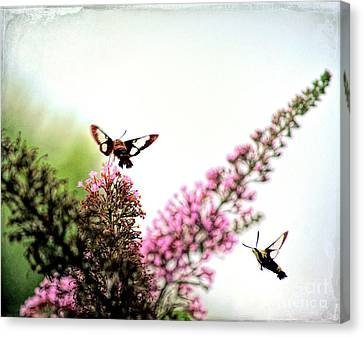 Canvas Print featuring the photograph Delight And Joy - Hummingbird Moths In Flight by Kerri Farley