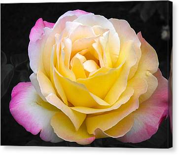 Delightful Blushing Rose  Canvas Print