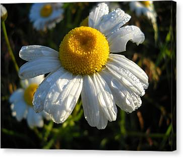 Delightful Dew Drops Canvas Print by Kent Lorentzen