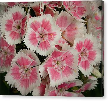 Canvas Print featuring the photograph Delightful Dianthus by Jean Noren