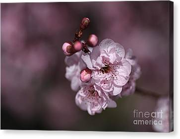 Delightful Pink Prunus Flowers Canvas Print