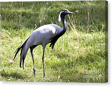 Canvas Print featuring the photograph Demoiselle Crane by Teresa Zieba