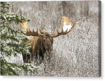 Denali National Park Bull Moose Canvas Print by Sam Amato