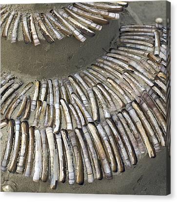 Denmark, Romo, Seashells, Razor Clams Canvas Print by Keenpress