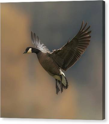 Canvas Print featuring the photograph Descending Goose by Angie Vogel