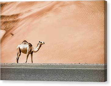 Desert Camel Canvas Print by Sedef Isik