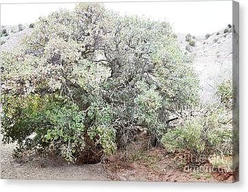 Canvas Print featuring the photograph Desert Canyon Tree by Andrea Hazel Ihlefeld