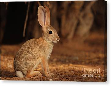 Desert Cottontail Posing Canvas Print by Max Allen